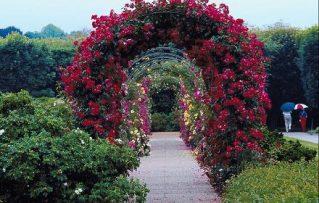 7 Sencillos Consejos para Tener un Gran  Jardín de Rosas Acordes!!!