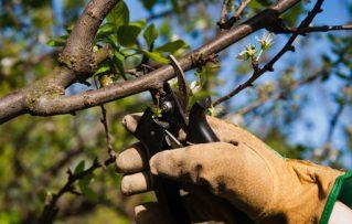 3 Sencillos Pasos para Realizar Rápidamente la Poda de Árboles Frutales Paso a Paso